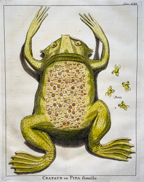 1773 J. Schley TOAD ou PIPA AMERICANA (f) fine hand coloured copper engraving - Amphibian