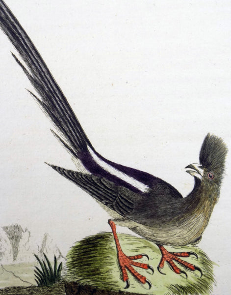 1785 John Latham - Synopsis - MOUSEBIRD Africa - hand coloured engraving