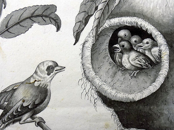 c 1790 Indian Ink Drawing to a Weaver bird feeding its young