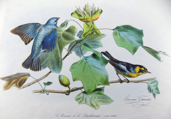 Edouard Traviès (1809-1865) Hand coloured stone Lithograph INDIGO BIRD Ornithology America
