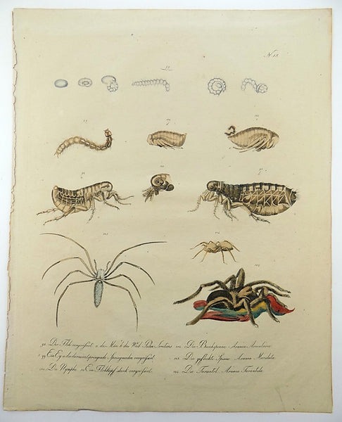 1816 Tarantula Insects Imperial folio 42.5 cm 'incunabula of lithography' hand coloured