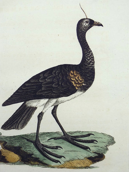 1785 John Latham - Synopsis - HORNED SCREAMER South America - Ornithology - hand col engraving