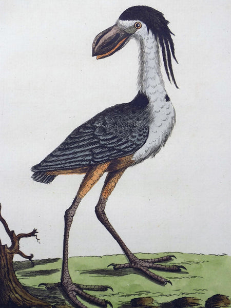 1785 John Latham - Synopsis - CRESTED BOATBILL - Ornithology - hand coloured engraving
