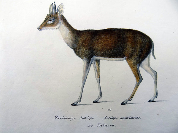 1824 ANTELOPES - Mammals - K.J. Brodtmann hand colored FOLIO lithograph