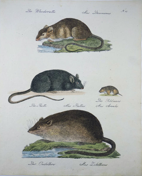 1816 Rodents - Mammals - Imperial folio 42.5 cm 'incunabula of lithography' hancoloured