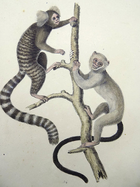1824 Jachus Monkey - Mammals - K.J. Brodtmann ORIGINAL hand colored FOLIO lithography