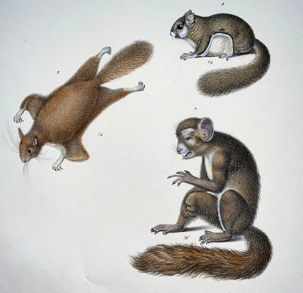1824 Aye Aye, Squirrels - Mammals - K.J. Brodtmann hand colored FOLIO lithograph