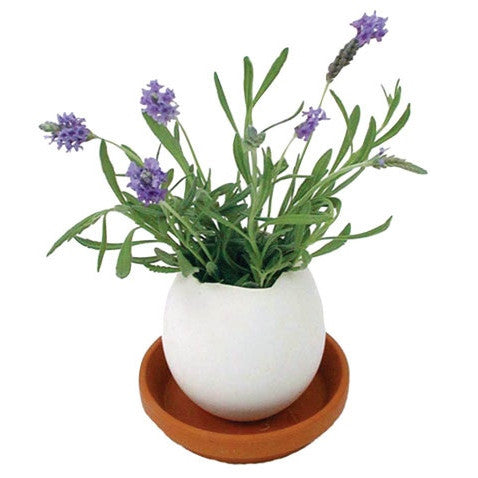Crack and grow lavender plant. Just crack the egg, scatter the seeds, water it and watch it grow. Wholesome Gifts. Great plants for kids.