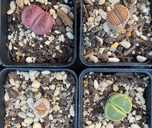 There are Lithops then there are amazing Lithops.