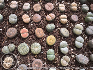 Lithop Growing, Care & Cultivation