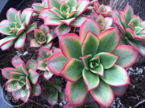 Aeonium Growing, Care and Cultivation