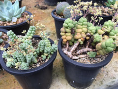Crassula elegans 2 forms