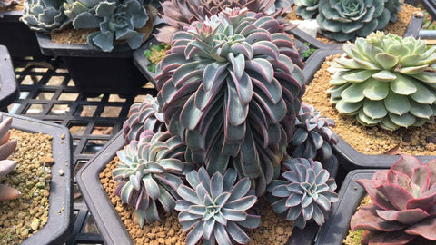 "Echeveria ""Fantastic Fountain"""