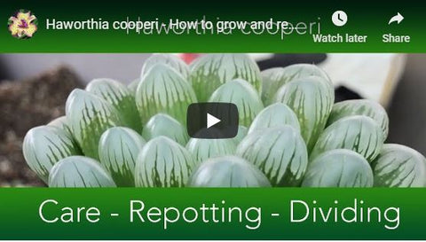 Haworthia cooperi - How to grow and repot the Window or Crystal Succulent.