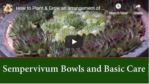 How to Plant & Grow an arrangement of Sempervivum Succulents in a Bowl or Dish