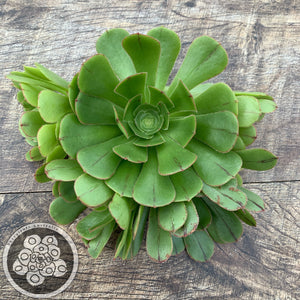Aeonium big bang reverted