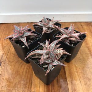 Aloe Bright Star