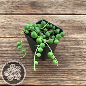 Senecio rowleyanus (Giant Form) - String of pearls