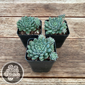 Echeveria Andoran Party Girl