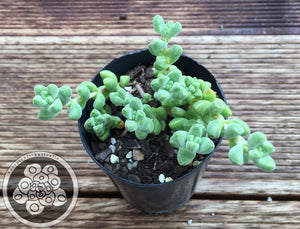 Crassula elegans (smooth leaf form)