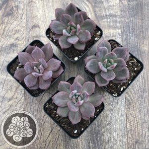 Echeveria deep purple champagne