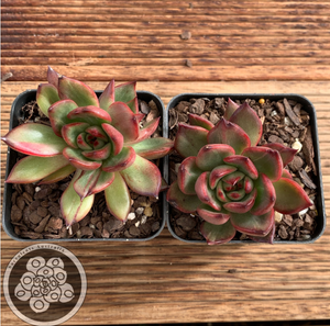 Echeveria Benimusume monst form