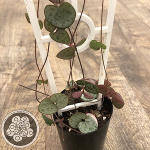 Ceropegia woodii 'Chain of Hearts'