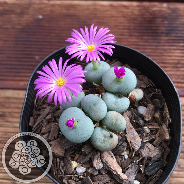 Conophytum sp. 6 (Purple Flowers)