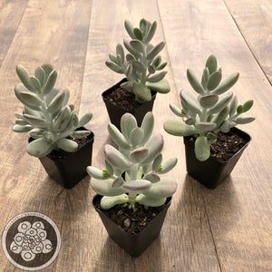 Cotyledon Oophylla - Asian Round Form