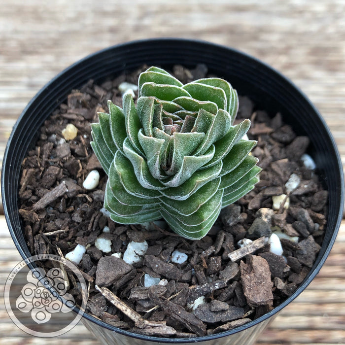 Crassula Buddha's Temple (hexagonal 6 sided form)