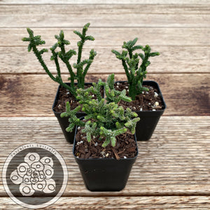 Crassula muscosa - Monst form