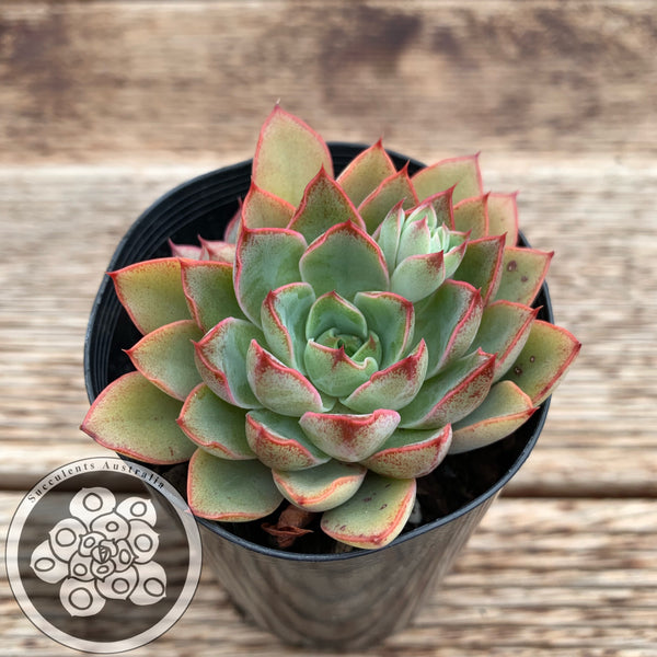 Echeveria Red Time (PKJ)