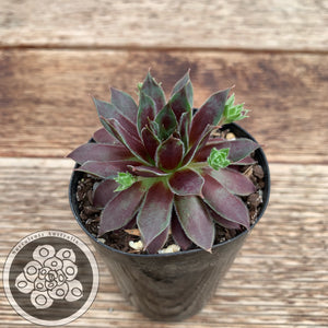 Sempervivum Midnight