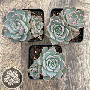 Echeveria Fiona's Choice
