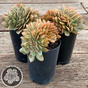Echeveria Green Smile Crest
