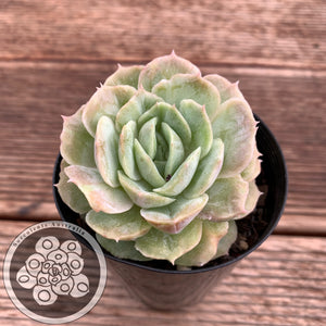Echeveria Onslow - Monst Form