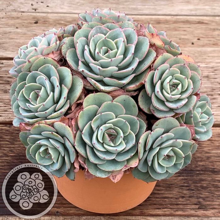 Echeveria Peaches & Cream aka Atlantis