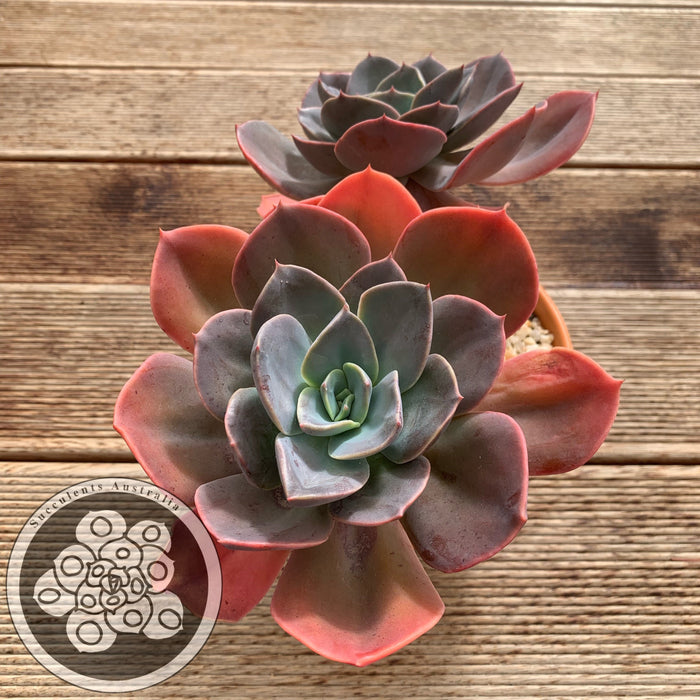 Echeveria Blue Metal
