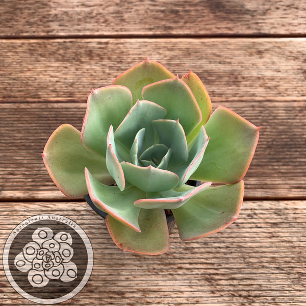 Echeveria Joe 2575