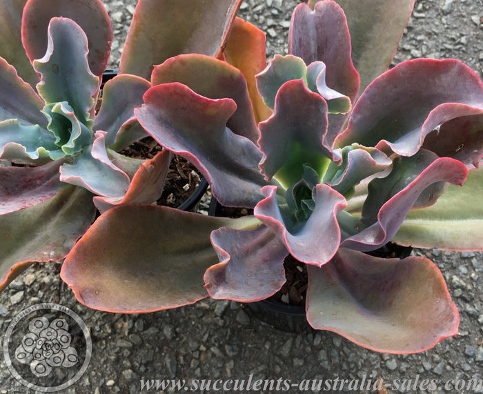 Echeveria Mary Butter Field