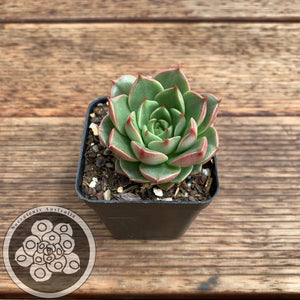 Echeveria Pop Star