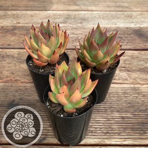 "Echeveria agavoides ""Bronze Beauty"""