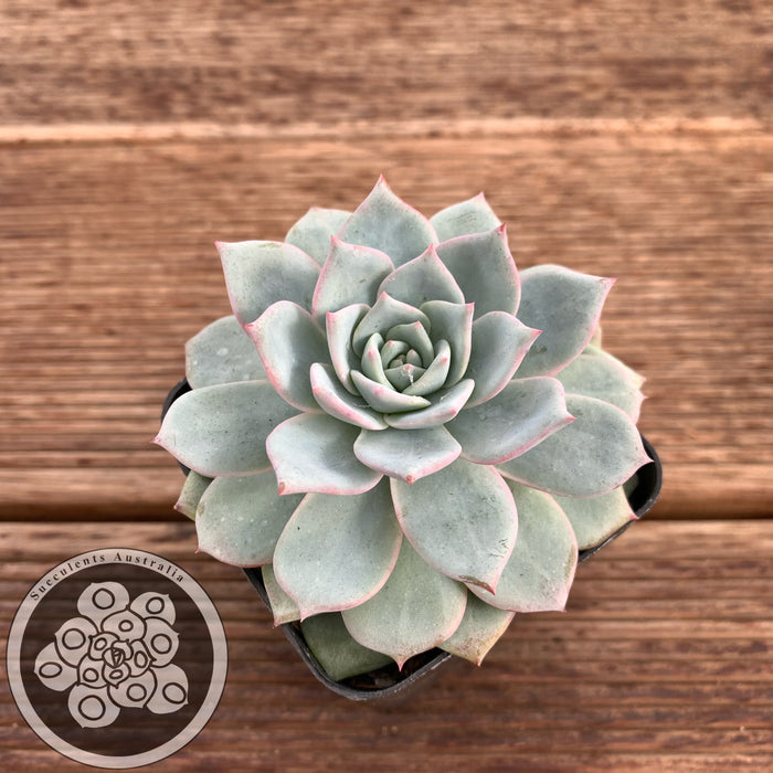 Echeveria peacockii x Bluebird