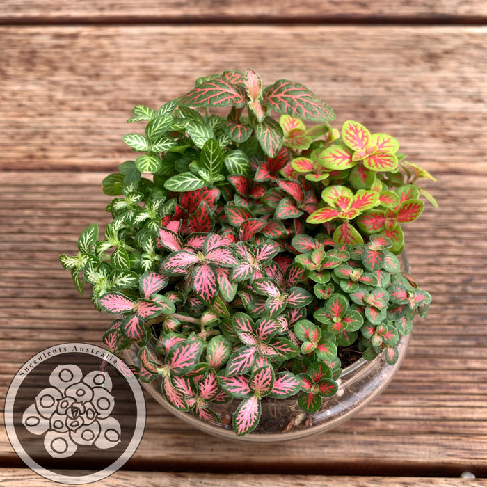 Fittonia Collection - Set of 6