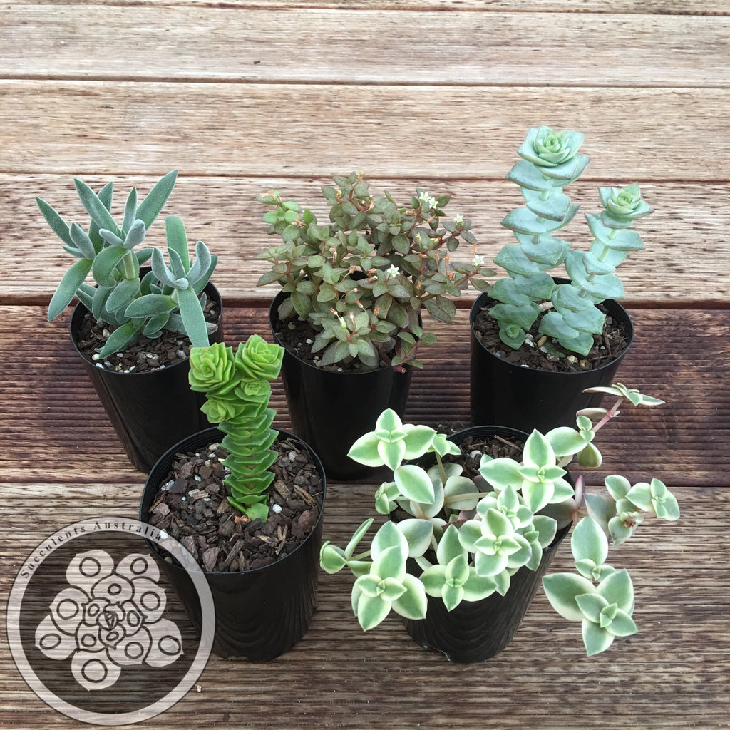 Crassula collection set of 5