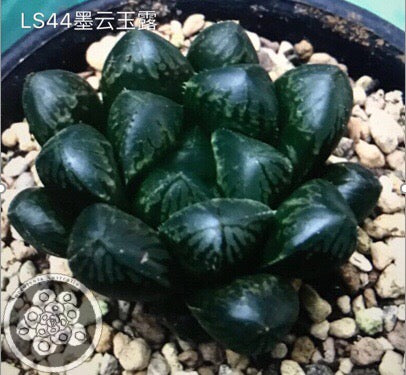 Haworthia cooperi 'Ink Cloud' (C24)