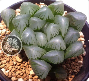 C23_Haworthia cooperi 'Old River'