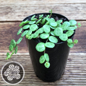 Peperomia prostrata - Jade Necklace