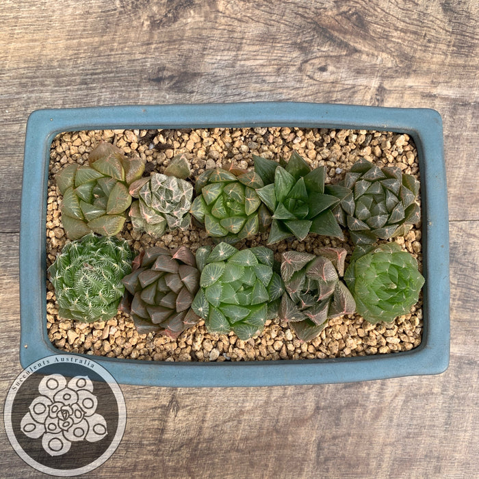 Haworthia - Crystal plants - Set of 10