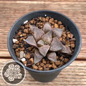 Haworthia Black Dragon